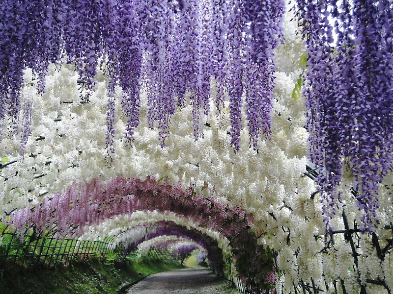 Kawachi fuji gardens hungry hungarian Wisteria flower tunnel path in japan