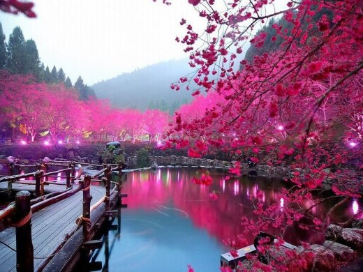 Japan-Cherry-Blossom-Lake-Sakura